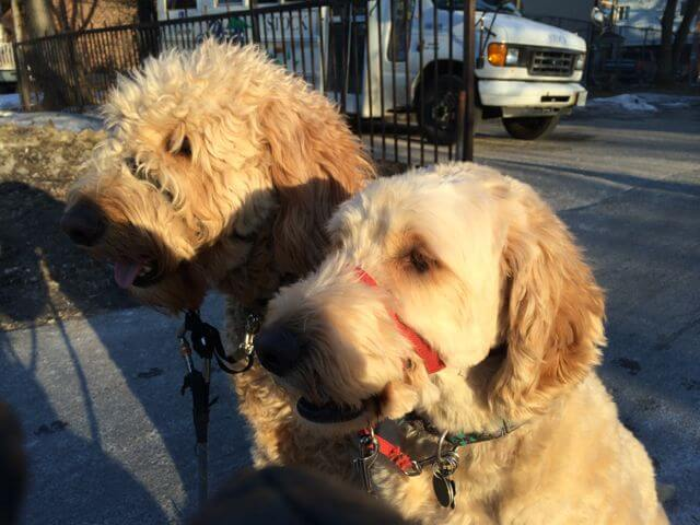 Two Doodles on a walk in Toronto