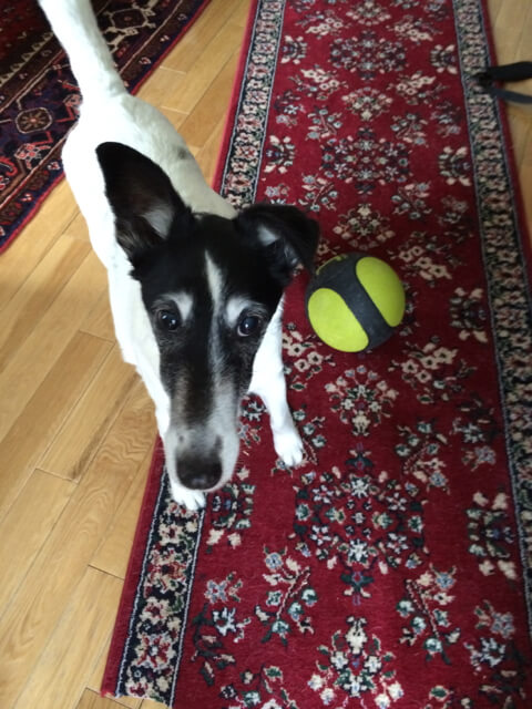 A dog and his ball on the carpet