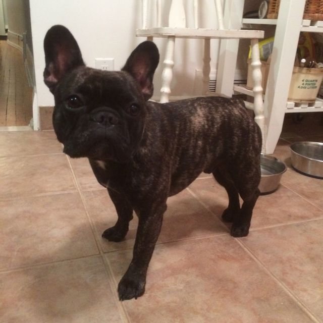 Reggie is a French Bulldog Toronto